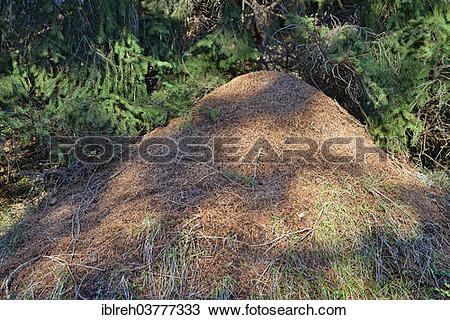 "Stock Photo of ""Anthill of the Big Red Wood Ant (Formica rufa."