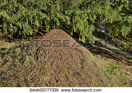 Stock Image of Anthill of the Big Red Wood Ant (Formica rufa.
