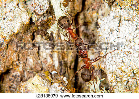 Stock Photograph of Red wood ants k28136979.