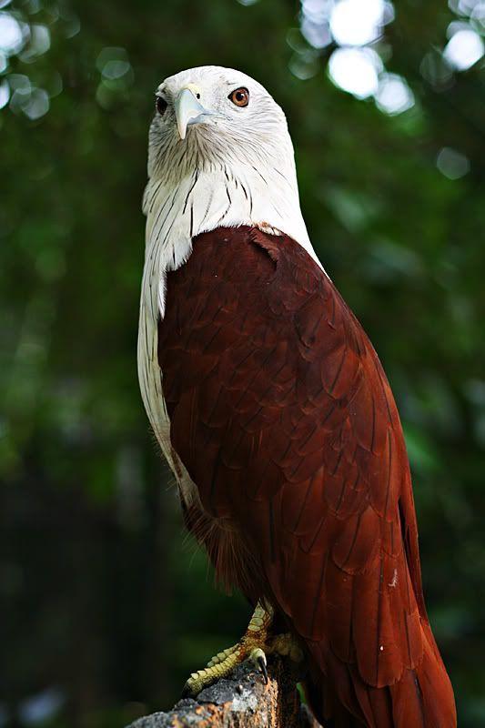 Brahminy Kite Sea Eagle.