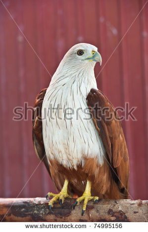 Red-backed sea-eagle clipart #8