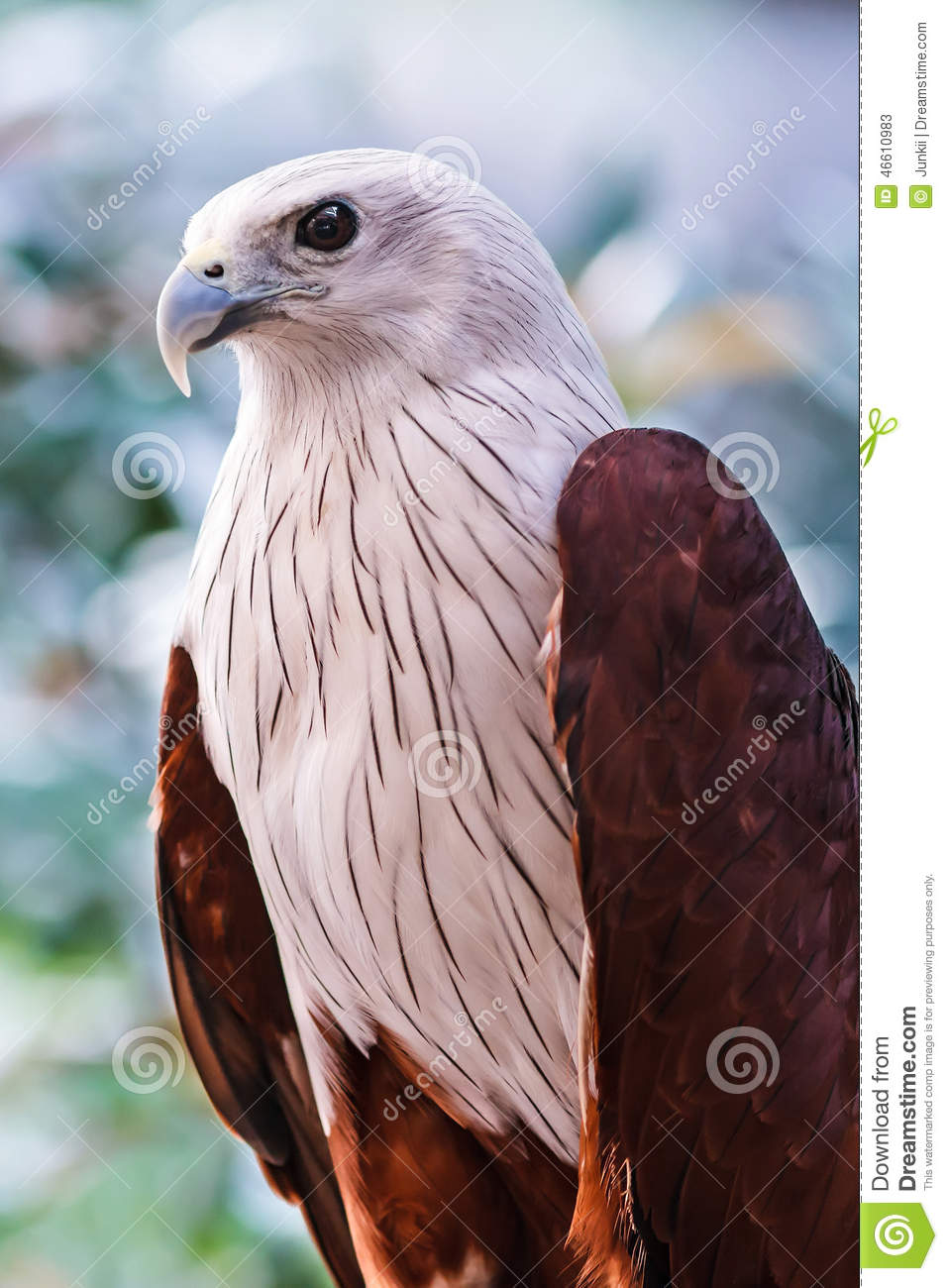 Red-backed sea-eagle clipart #1