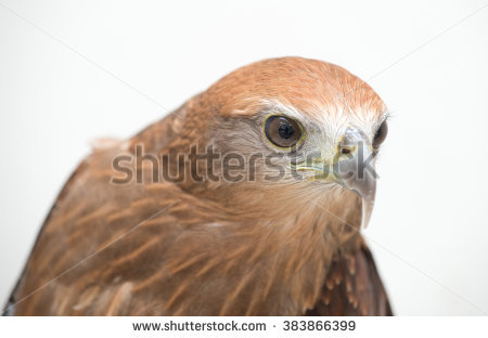 Red-backed sea-eagle clipart #13