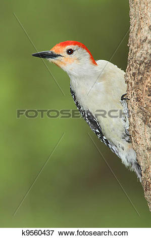 Picture of Male Red.