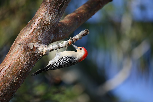 Red Bellied Woodpecker Clip Art, Vector Images & Illustrations.