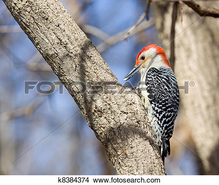 Stock Photo of red bellied woodpecker eating a piece of corn.