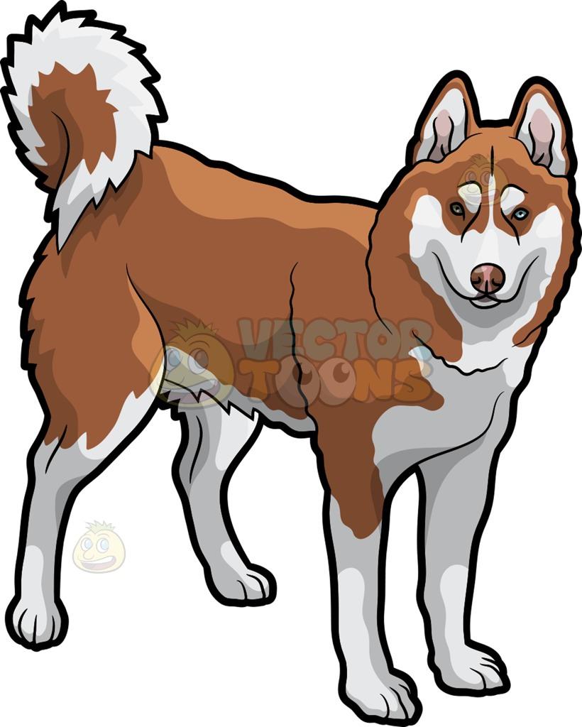 A beautiful brown husky dog.