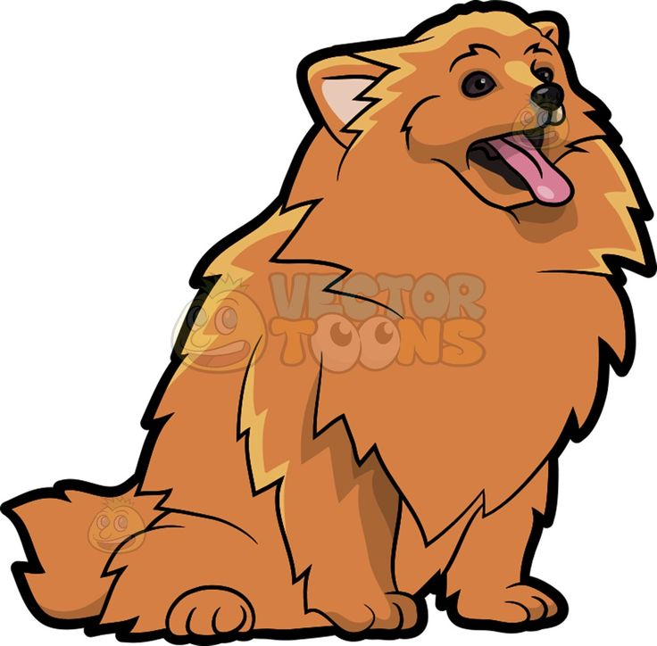 A hungry Pomeranian dog : A dog with fluffy golden reddish brown.