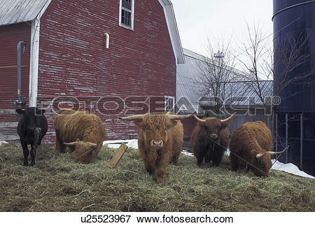 Picture of cows, Vermont, VT, Scottish Highland cows with thick.