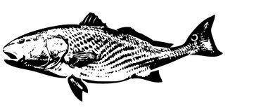 Redfish Stock Illustrations.