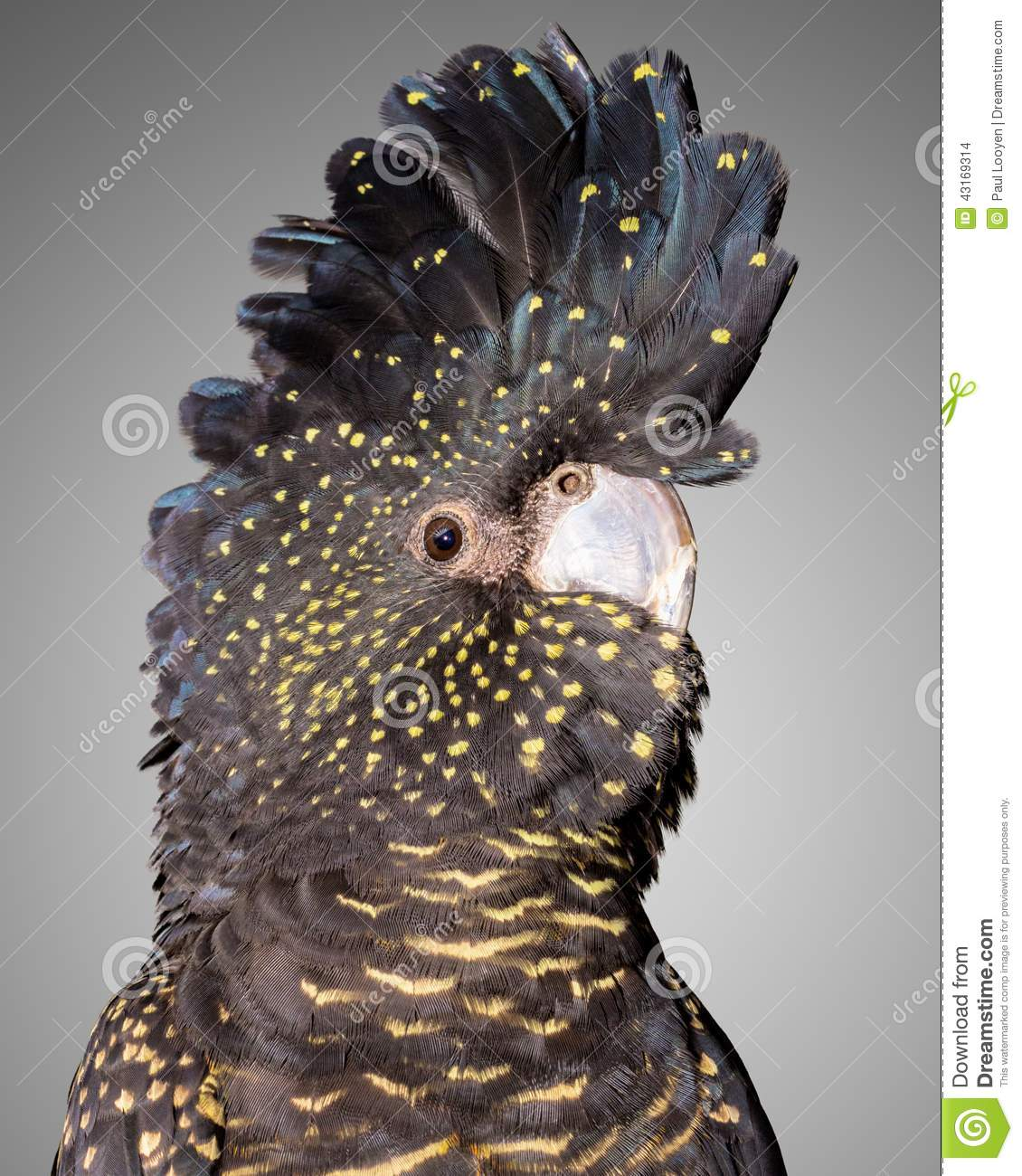 Red Tailed Black Cockatoo Stock Photo.
