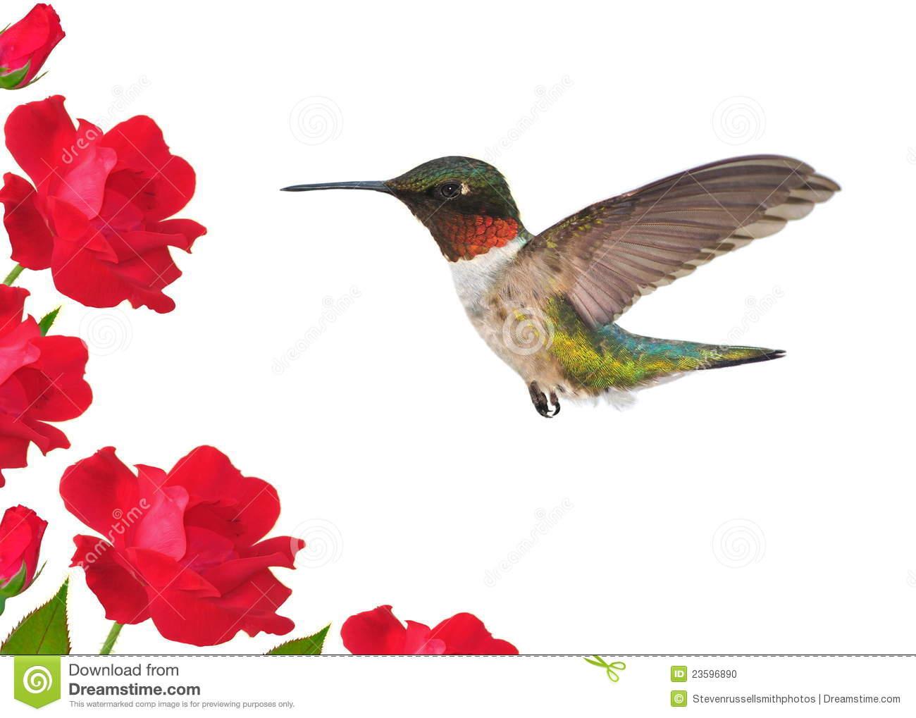 redthroat hummingbird clipart clipground