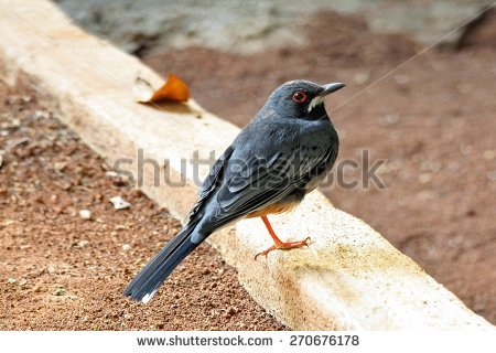 Red Wing Thrush Stock Photos, Royalty.