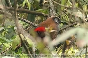 More on Garrulax formosus: Red.