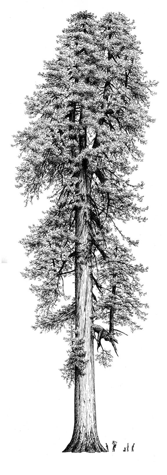 1000+ ideas about Redwood Tattoo on Pinterest.