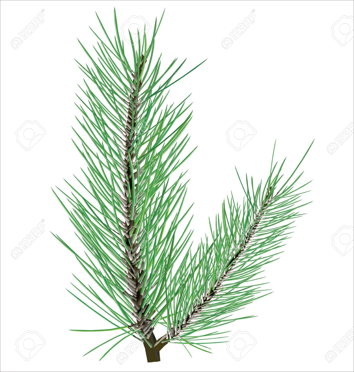Pine Branch On White Background Royalty Free Cliparts, Vectors.