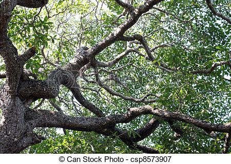 Redwood branches clipart #18