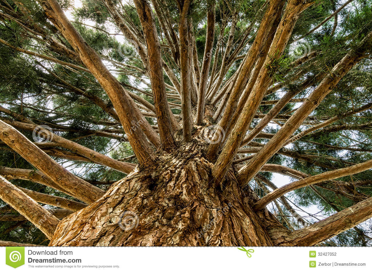 Trunk Of A Redwood Tree Stock Photography.