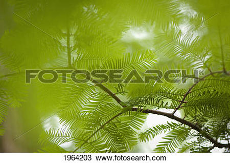 Stock Photo of Looking Through Redwood Tree Branches; Berkeley.