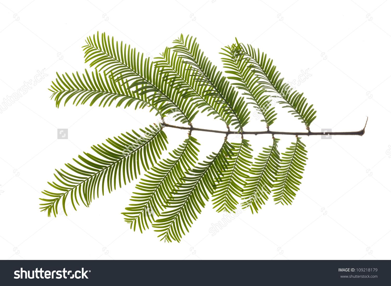 Isolated Leaf Giant Redwood Tree Stock Photo 109218179.