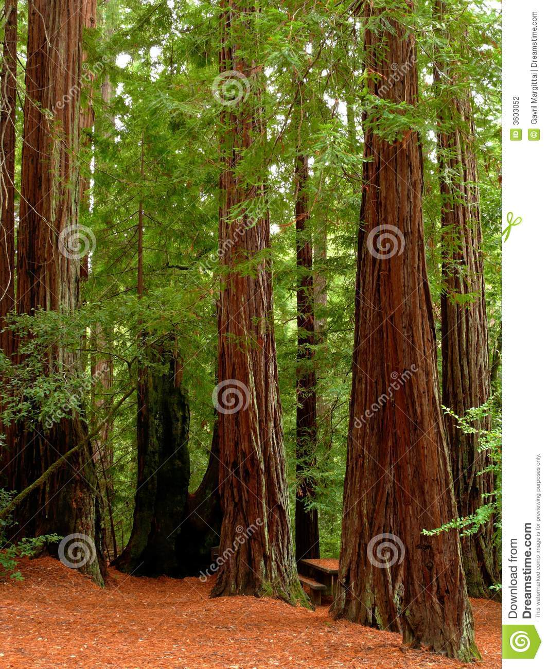 redwood forest clipart #3