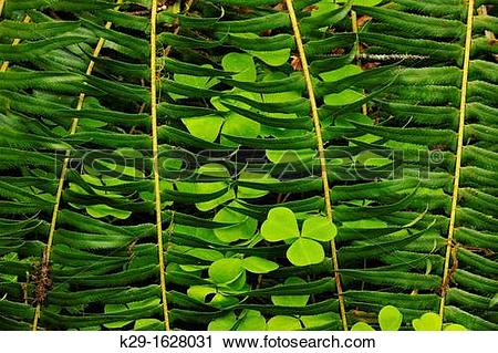 Stock Photography of Redwood sorrel Oxalis oregana sprouting among.