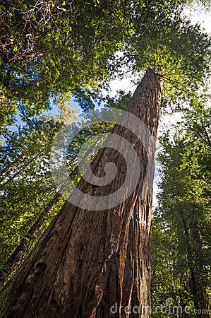 Redwood Tree Base Growth Stock Photo.