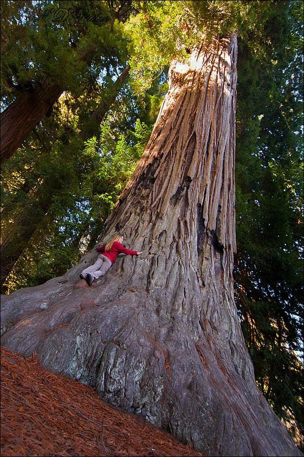 1000+ images about Redwoods on Pinterest.
