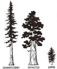 The Coastal Redwoods Ecosystem: Coast Redwood Germination and Growth.