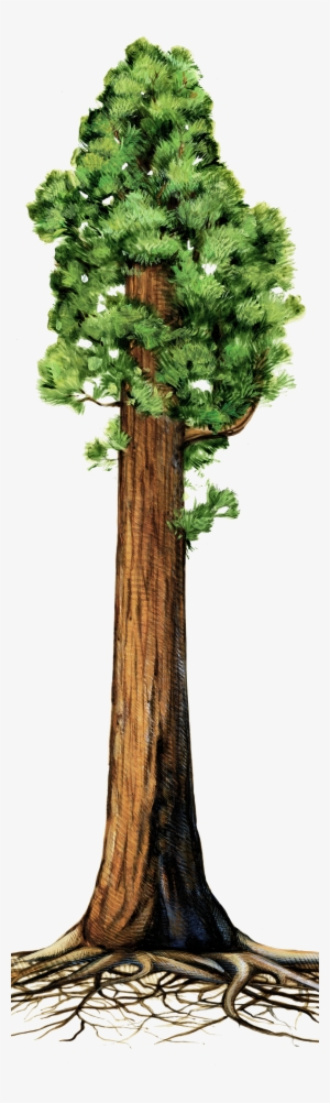 Redwood Tree PNG, Transparent Redwood Tree PNG Image Free.