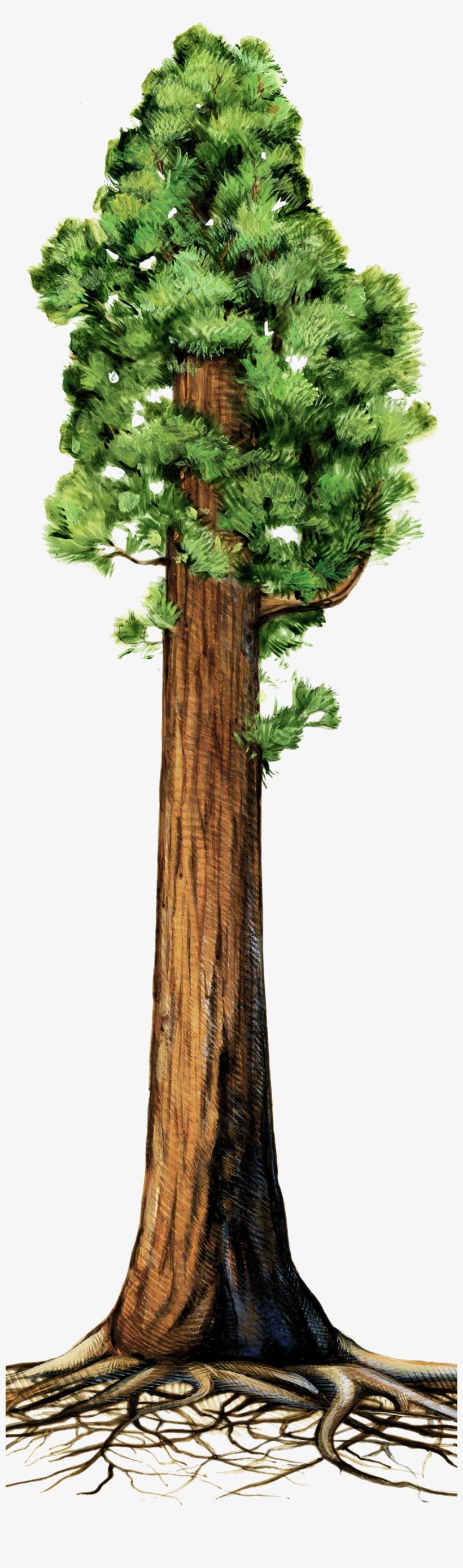 Drawn Roots Sequoia Tree.
