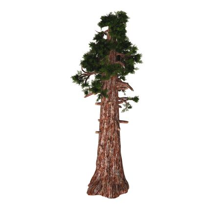Redwood tree clipart » Clipart Station.