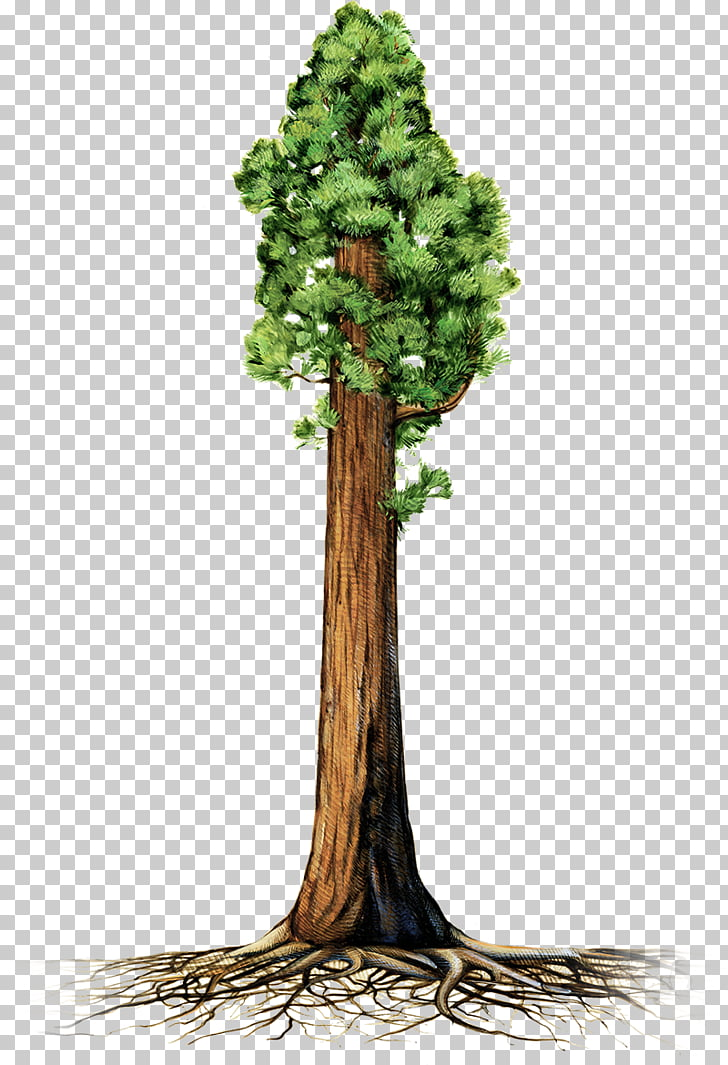 80 redwood tree PNG cliparts for free download.