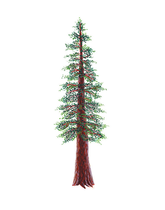 Redwood tree clipart 5 » Clipart Station.