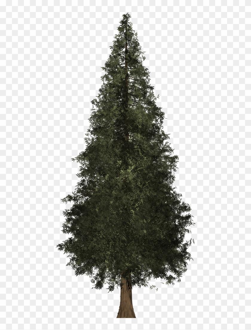 Redwood Tree.