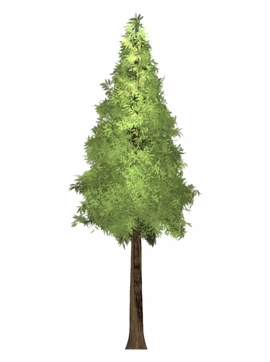Redwood Tree Png.