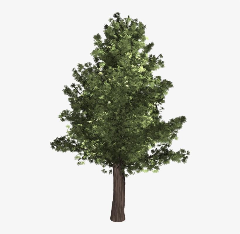 Tree, Evergreen, Isolated, Pine, Spruce, Redwood.