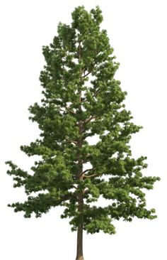 Redwood Tree Png (108+ images in Collection) Page 1.