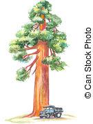 Redwood Clip Art and Stock Illustrations. 146 Redwood EPS.