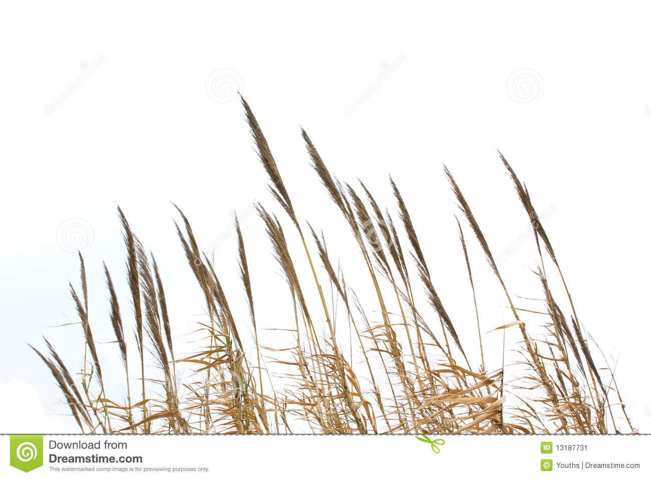 Reed Grass Clip Art.