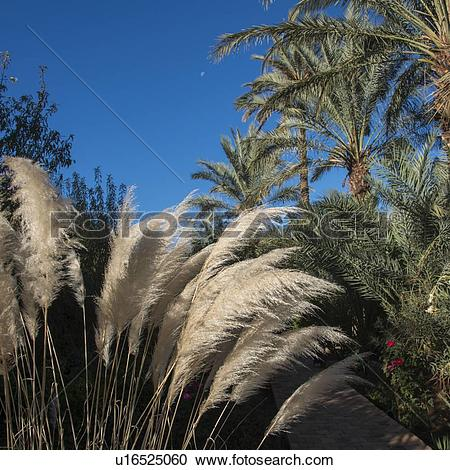 Stock Photography of Common reed and palm trees at Dar Qamar, Agdz.