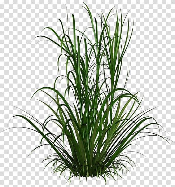 Ornamental grass , reeds transparent background PNG clipart.