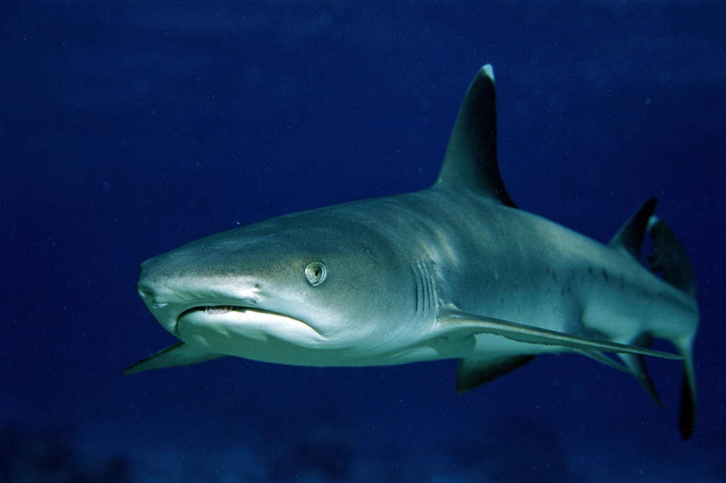 Whitetip Reef Shark.