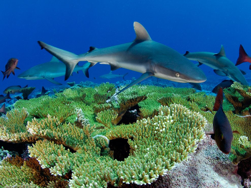 Reef Shark.