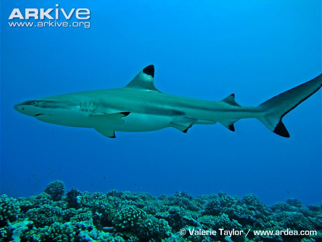 Blacktip reef shark videos, photos and facts.
