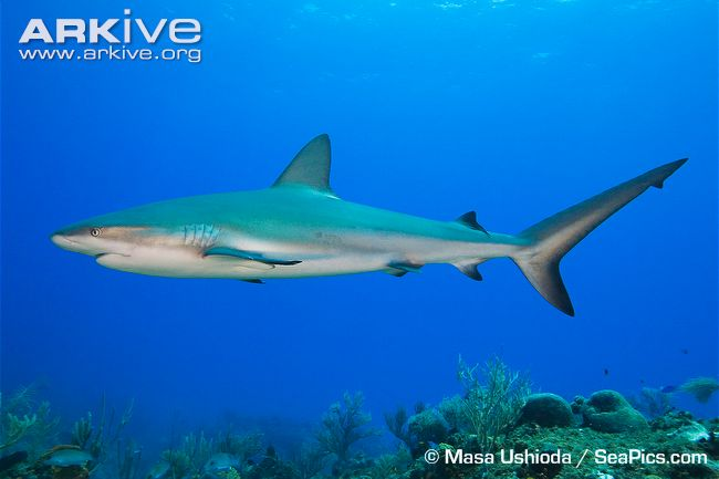 Caribbean reef shark photo.