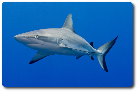 Information About Sharks Like The Gray Reef Shark.