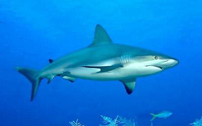Gray Reef Sharks, Carcharhinus amblyrhynchos ~ MarineBio.org.