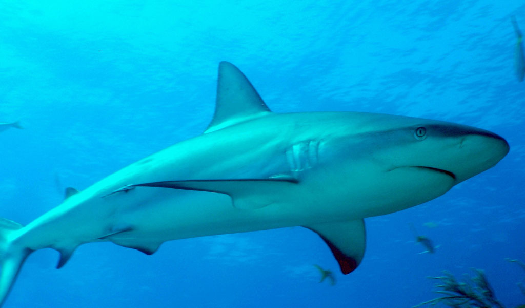 Caribbean Reef Shark.