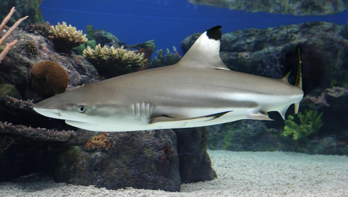 Blacktip reef shark, Coral Reefs, Fishes, Carcharhinus.